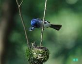 明池鴛鴦:110606冬山黑枕藍鶲_151.jpg