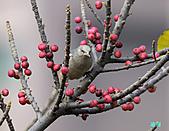 美堤河濱公園的椋鳥:灰背椋鳥.jpg