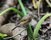野柳藍尾鴝母鳥:101121藍尾鴝母鳥_025.jpg