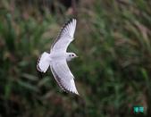 宜蘭紅嘴鷗:111215空中撈魚紅嘴鷗_124-1.jpg