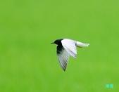 白翅黑燕鷗:110516羅東白翅黑燕鷗_495.jpg