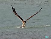 廣興的魚鷹:101109廣興魚鷹_084.jpg