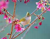 八仙山飛羽迎新春:090131八仙山_95.jpg