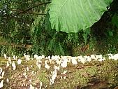 20060812桃園復興_東眼山:IMGP1179.JPG