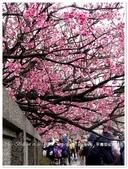2018.01 台北陽明山‧平菁街42巷櫻花:台北陽明山‧平菁街42巷櫻花