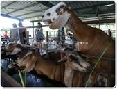 2014.09 宜蘭冬山‧宜農牧場:宜蘭冬山‧宜農牧(羊)場