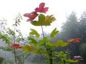 1106銀杏&茶園:楓葉?槭樹?