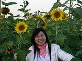 0612新社花海:向日葵