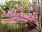 1103東勢林場櫻花:櫻花