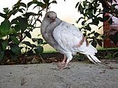 1102大年初一-圓滿教堂:鴿子