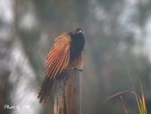 台灣鳥類:lesser_coucal5-6822