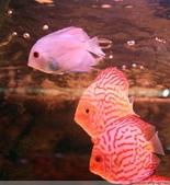 熱帶魚:4238731674287028012