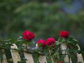 玫瑰:496d8829332da.jpg