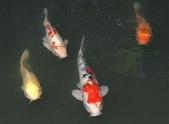 觀賞魚:koi