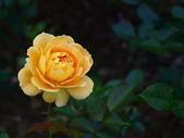 玫瑰:496d86a6c69d4.jpg