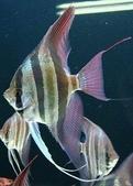 熱帶魚:oth866687452c31caf5dccf24391b9886ed3ccc2fd140010