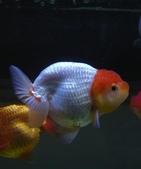 觀賞魚:goldenfish3