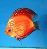 熱帶魚:2263621762708360317