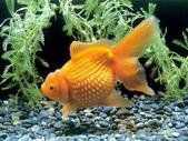 觀賞魚:images