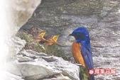 台灣鳥類:LB22_003