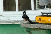 台灣鳥類:IMG_3530