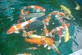 觀賞魚:DSC_0462.28762453_std