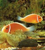 熱帶魚:2008716173225919_2