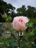 玫瑰:DSCN1966