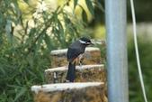 台灣鳥類:IMG_3529