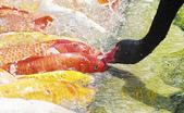 觀賞魚:ch0410b3