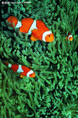 熱帶魚:2008418165527918_2