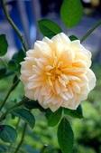 玫瑰:1196151501.jpg