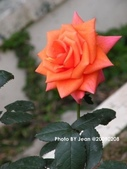 玫瑰:d17616a7.jpg