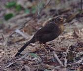 台灣鳥類:yctu003_%E5%8F%B0%E7%81%A3%E7%95%AB%E7%9C%89