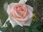 玫瑰:DSCN2192