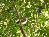 台灣鳥類:p1090910