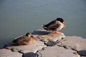 台灣鳥類:IMG_2743