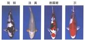 觀賞魚:B107-2-2005-10-30-11-55-43-1