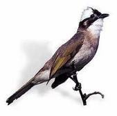 台灣鳥類:p86
