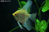 熱帶魚:2007122781224974_2