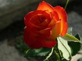 玫瑰:125526_normal_ef067.jpg