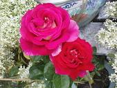 玫瑰:ap_F23_20090208120516883