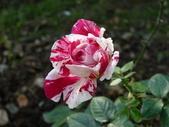 玫瑰:125526_normal_c730c.jpg