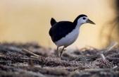 台灣鳥類:p02