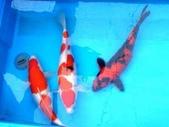 觀賞魚:koi_imagelarge