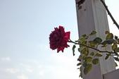 玫瑰:DSC_6323