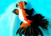 觀賞魚:20071024145553347