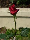 玫瑰:125526_normal_b992a.jpg