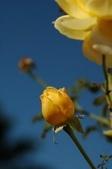 玫瑰:DSC_4028