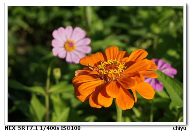 花的種類:DSC01381.JPG